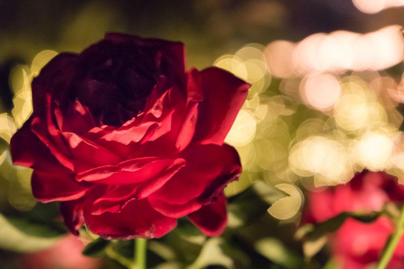 バラとイルミネーション