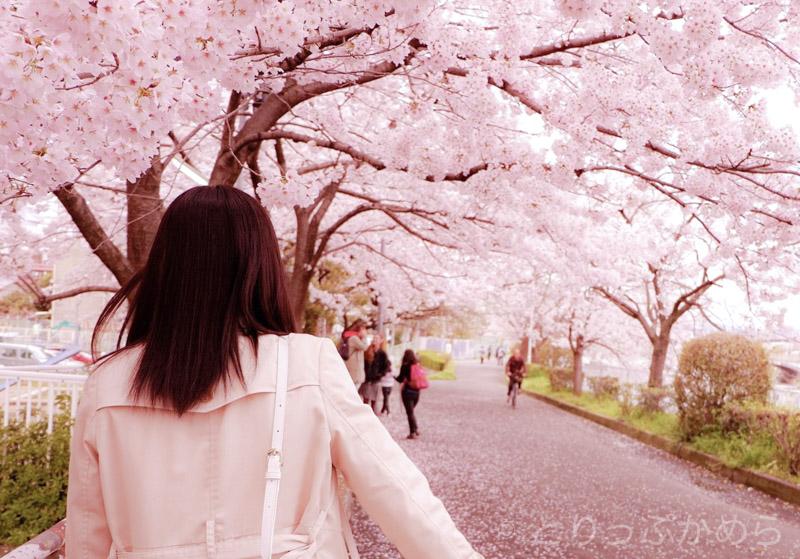 鴨川沿いの桜並木