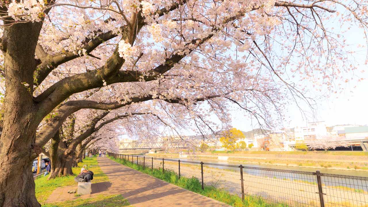 東福寺周辺の桜