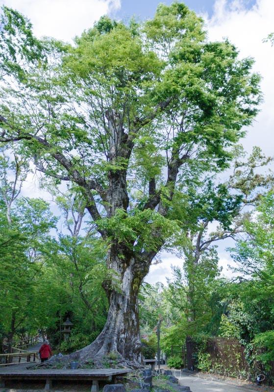 樹齢600年の大欅の木が迫力満点