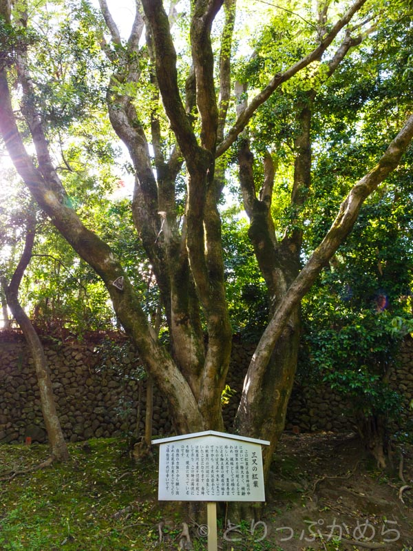 樹齢400年の三叉のもみじの木
