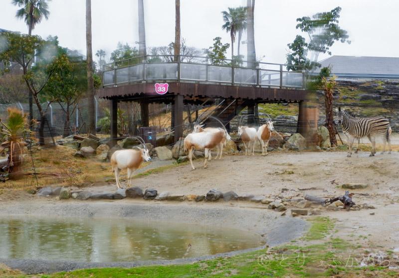 アドベンチャーワールドのサファリワールドの草食系動物