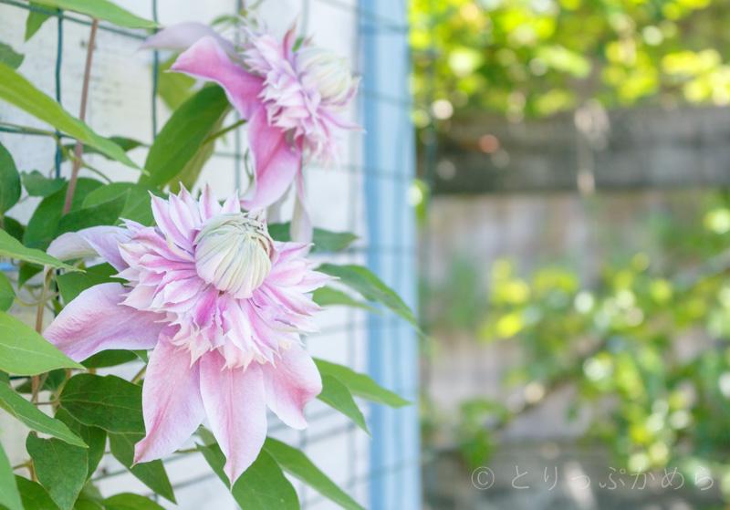 ローザンベリー多和田の花6