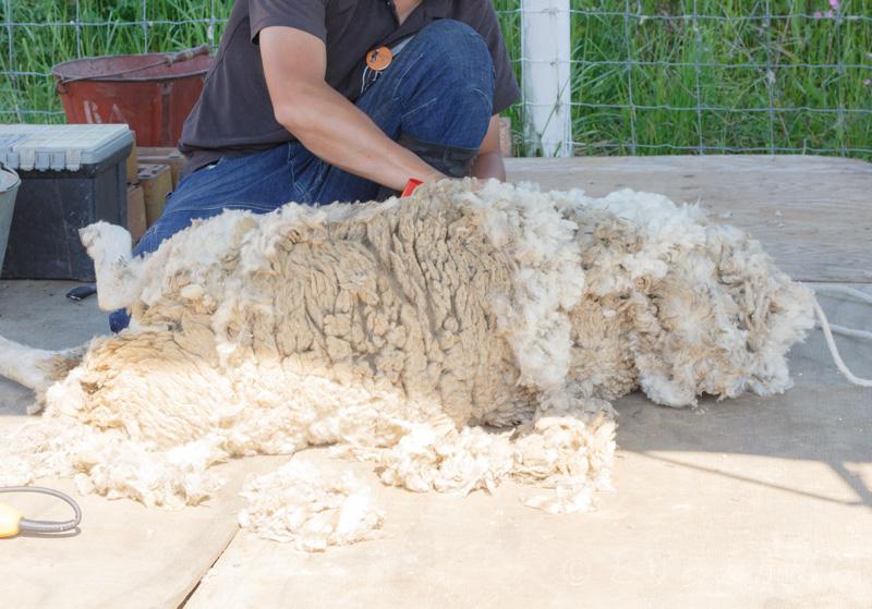 羊の散髪風景