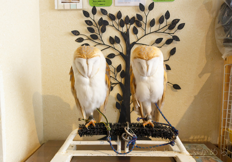 奈良のフクロウカフェわたわたのメンフクロウ