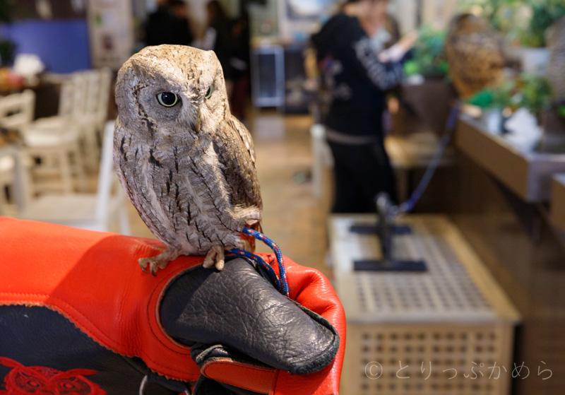 奈良のフクロウカフェで手乗り体験2