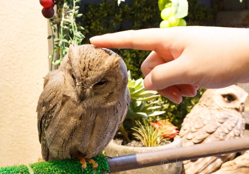 奈良のフクロウカフェわたわたはフクロウを触れる
