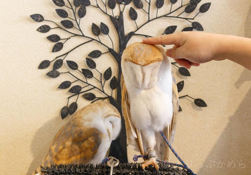 奈良のフクロウカフェわたわたはフクロウを触れる2