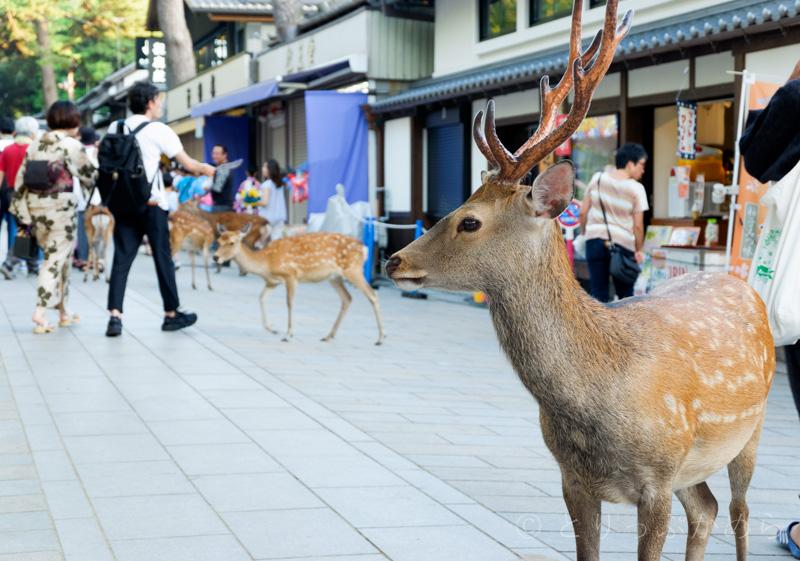 お昼間の奈良公園の鹿
