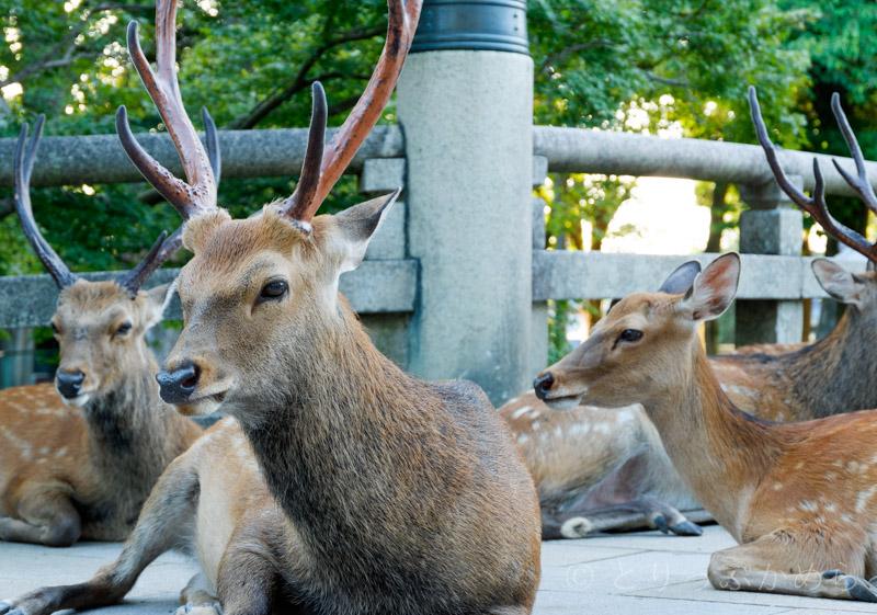 お昼間の奈良公園の鹿2