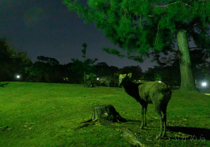 奈良には夜でも鹿は居る