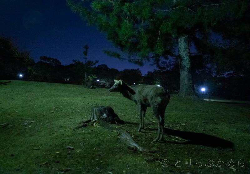 奈良には夜でも鹿は居る2