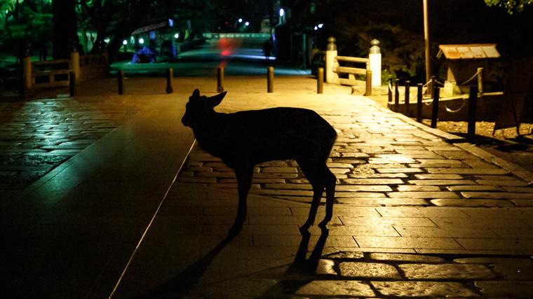 奈良には夜でも鹿はいるの?実際に見に行ってみた
